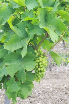 Grapes at Monbazillac